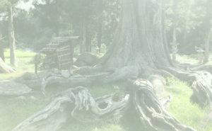 夏山の根上り杉