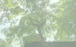 甘泉寺のコウヤマキ